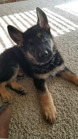 Ryno puppy 8-2017