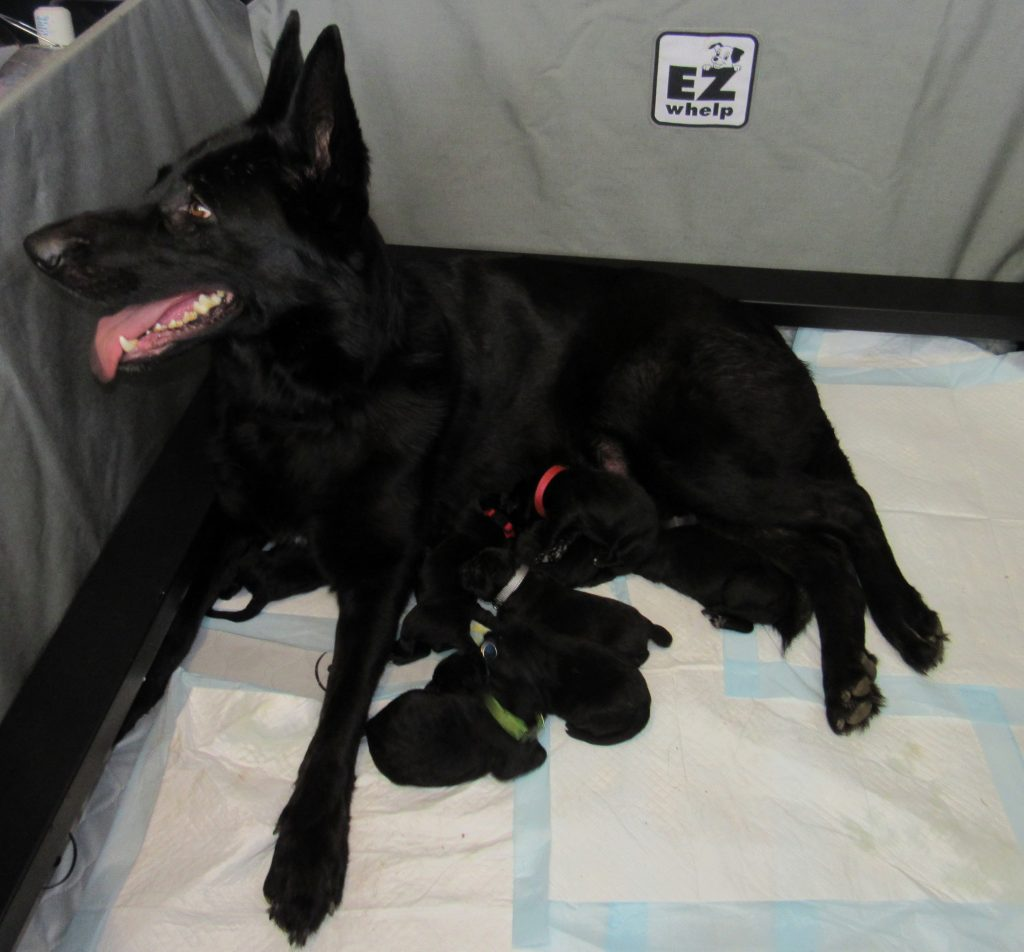 Inga all 8 pups after birthing fbook 3-19-19