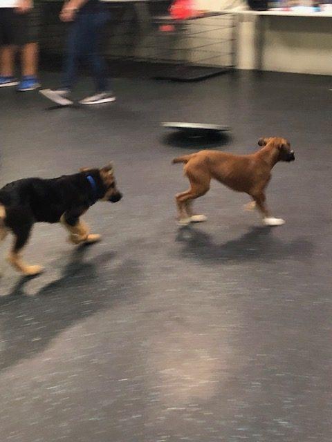 Kasier chasing boxer 9-19