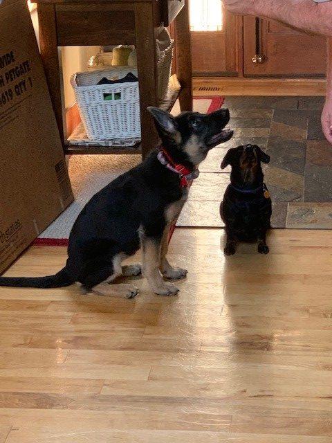 Luna Hays howling doggy 9-23-19